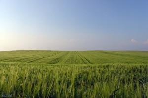 Campo de cereal. El trigo duro de cada día